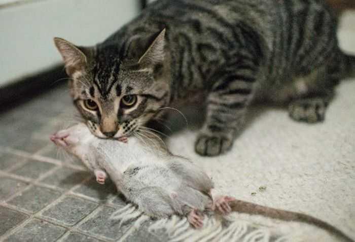 Как поймать крысу в погребе: биологический метод
