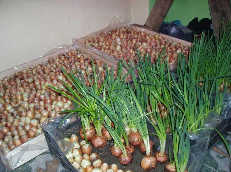 Как сохранить лук и чеснок в зимний период в погребе